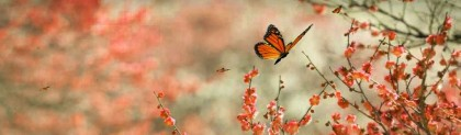 monarch-butterflies-on-rose-flowers-website-header